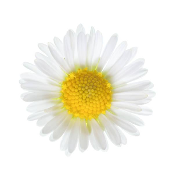 de close-up van kleine daisy bloem (bellis perennis) geïsoleerd op een witte achtergrond. - madeliefje stockfoto's en -beelden
