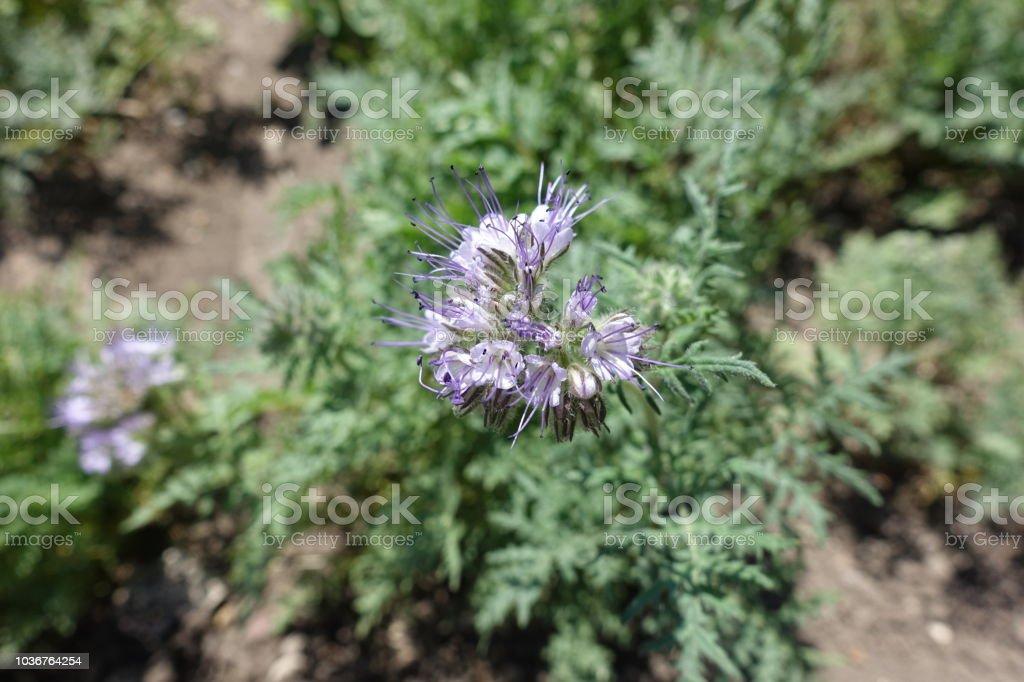 Closeup of small lavender colored flowers of Phacelia tanacetifolia stock photo