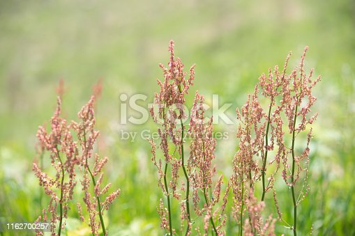 istock closeup of small wildflower with blurry meadow background at countryside. 1162700257
