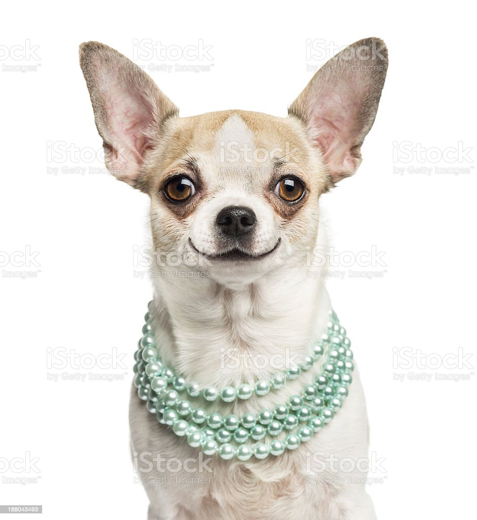 Close-up of smiling Chihuahua wearing a pearl necklace stock photo