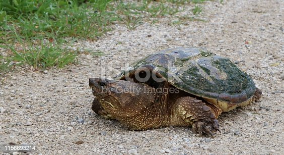 Good view of sharp beak like mouth of Ontario snapping turtle