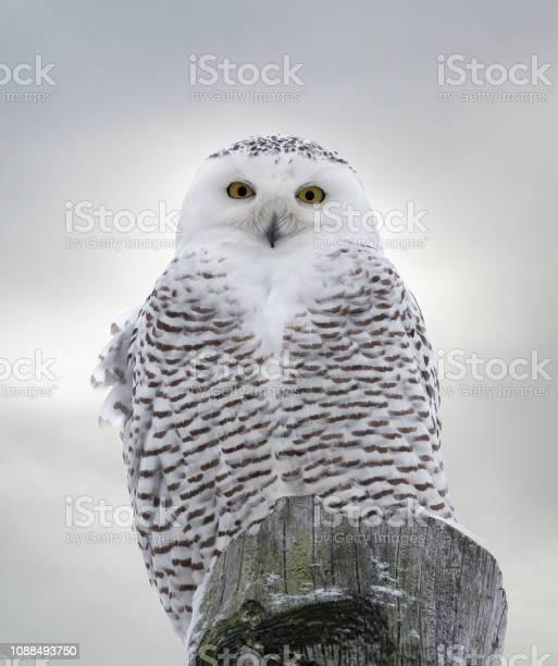 Closeup of snowy owl perched on wooden post picture id1088493750?b=1&k=6&m=1088493750&s=612x612&h=wto6xv8nisamapi4vwid h2pxwlf022qobua gae8pg=