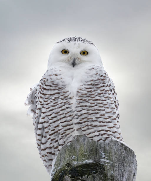 Closeup of snowy owl perched on wooden post picture id1088493750?b=1&k=6&m=1088493750&s=612x612&w=0&h=8kbkjrqdq k bxya9kao7zn9wdvfxndbvrsebucawnq=