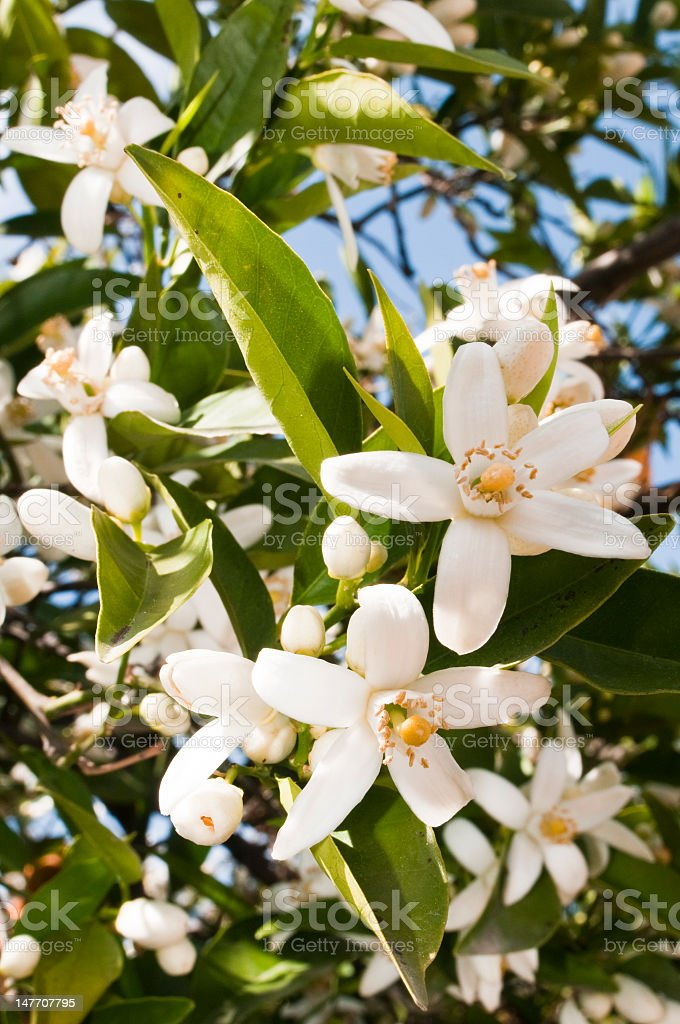 Close-up of some blooming orange blossoms on the tree stock photo