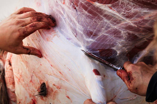 nahaufnahme von einige hände während der häutung ein elch - entfernen von tierhaaren stock-fotos und bilder
