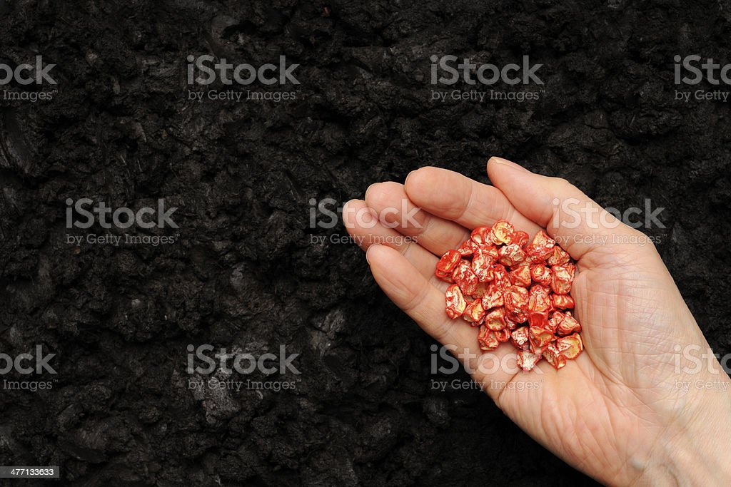 Close-up of sowing sweetcorn seed on soil royalty-free stock photo