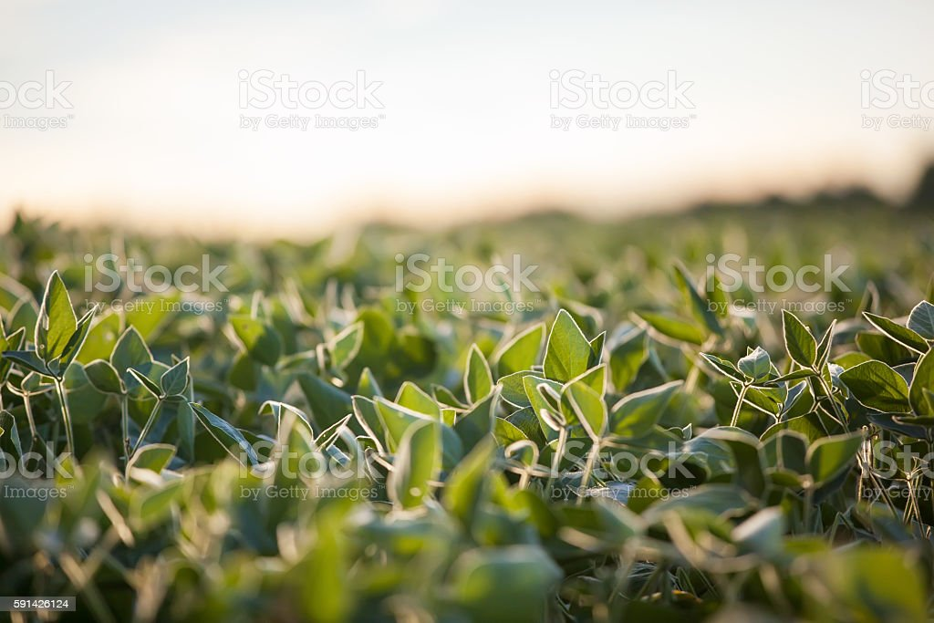 Close-Up of Soybean Field stock photo