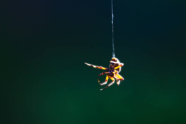 closeup of spider hanging in midair - spider web stock photos and pictures