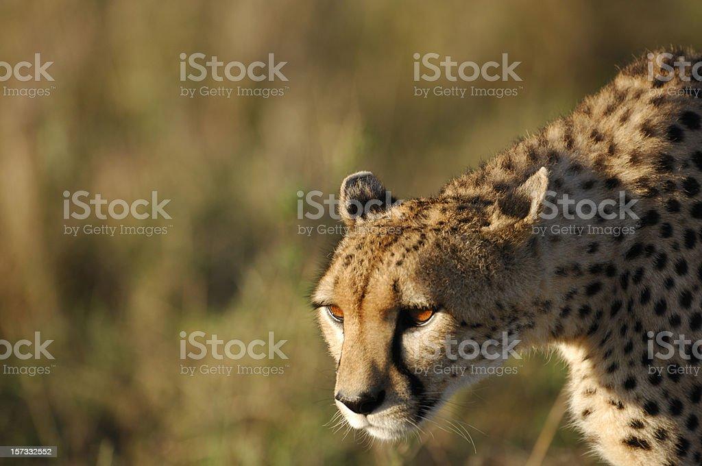 Close-up of Stalking Wild Cheetah royalty-free stock photo