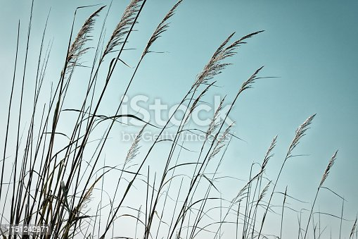 Close-up of stalks against clear sky - relaxing backgrounds. Beauty in nature concept, plants against blue clear sky. Reed plant steams  against summer sky - tranquility and calmness concepts.