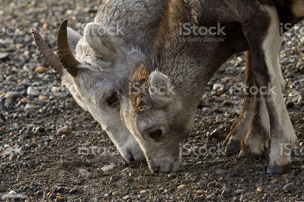 Closeup of Stone Sheep ewe with lamb stock photo
