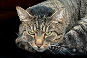 Close-up of striped tabby cat with green eyes on black background