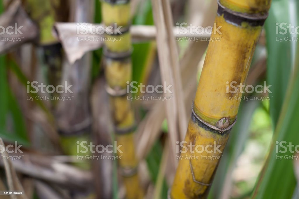 Closeup of sugar cane plantation (sugarcane) stock photo