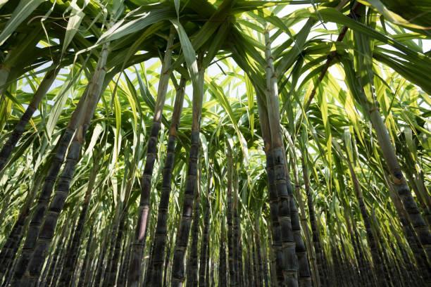 Closeup of sugarcane plants growing at field stock photo