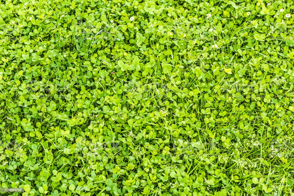 Closeup of summer field of clover greens and grass flat top view stock photo