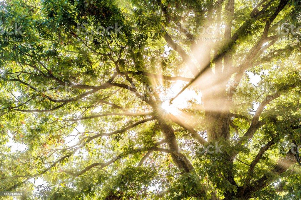 Closeup de los rayos de sol de sol a través de hojas de árbol verde grande en otoño con orange sale en niebla, niebla a través de silueta brumosa en el concepto de campo de mañana - foto de stock