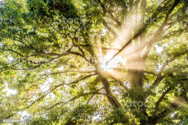 Photo of Closeup of sunburst sun rays through leaves of large green tree in autumn with orange leaves in mist, fog through foggy silhouette in morning countryside concept