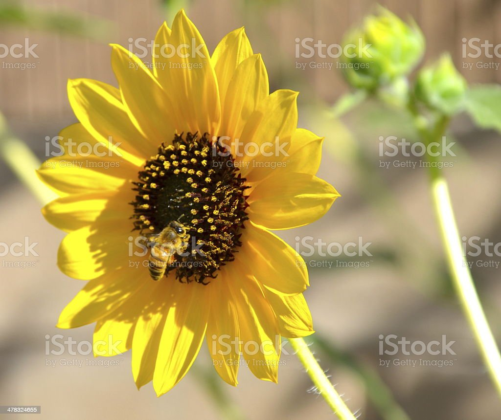Close-up of Sunflower and Bee royalty-free stock photo
