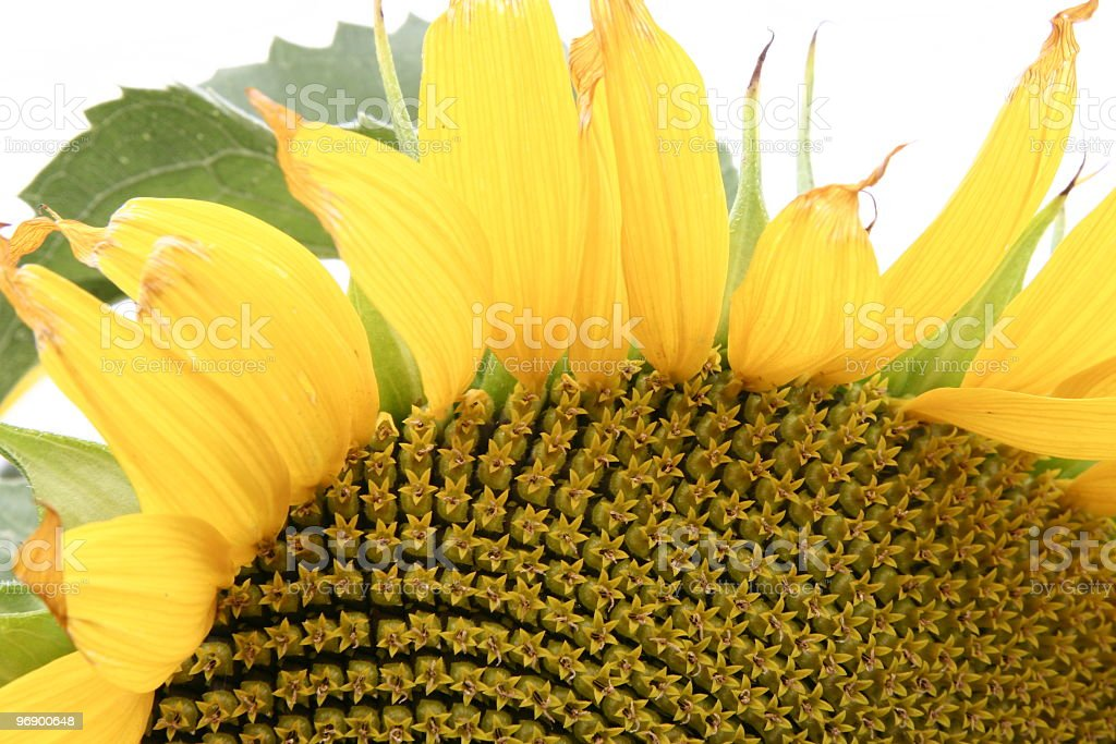 Closeup of Sunflower head and seeds royalty-free stock photo