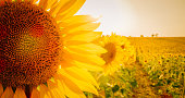 Scenic landscape with close-up of a sunflower in a vast yellow field, Valensole, Provence, France
