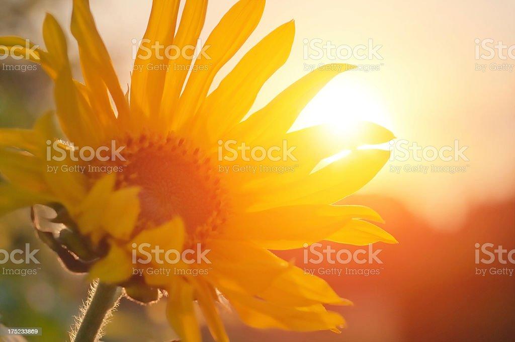 Girasole davanti di raggio di sole - foto stock