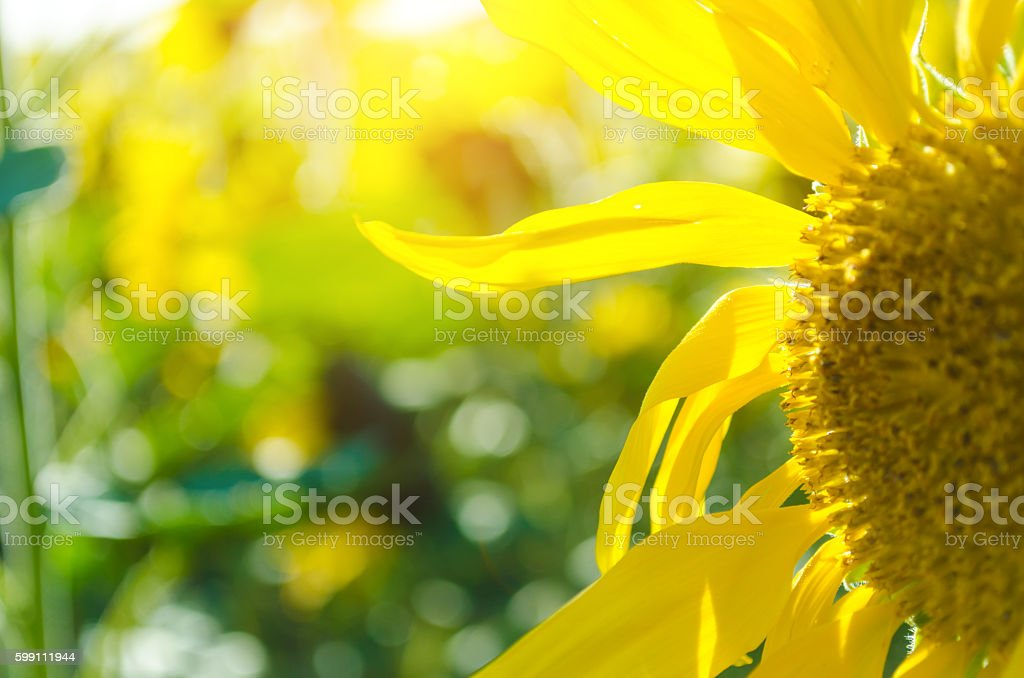 Close-up of sunflower in front of sunbeam - foto stock