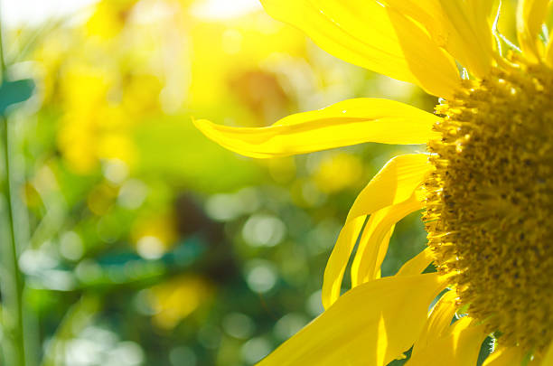 Close-up of sunflower in front of sunbeam – Foto