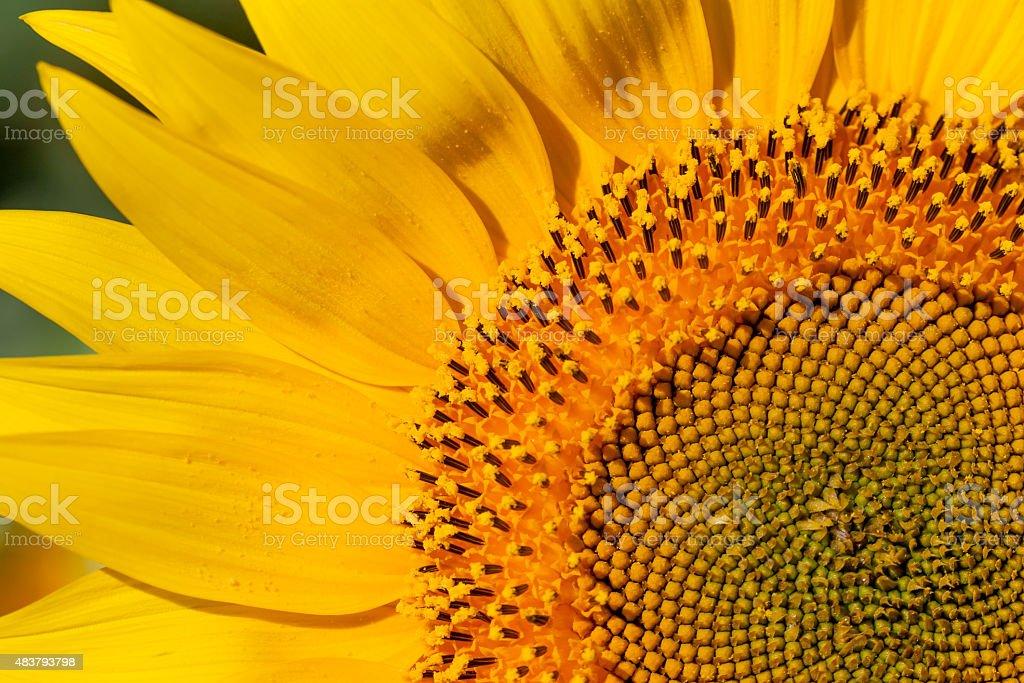closeup of sunflower stock photo
