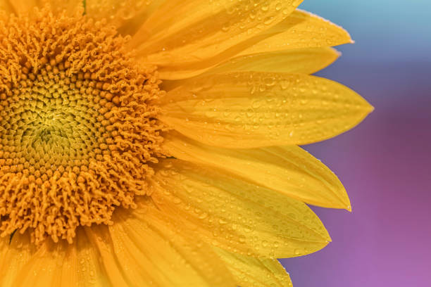 closeup of sunflower. - stamen stock photos and pictures