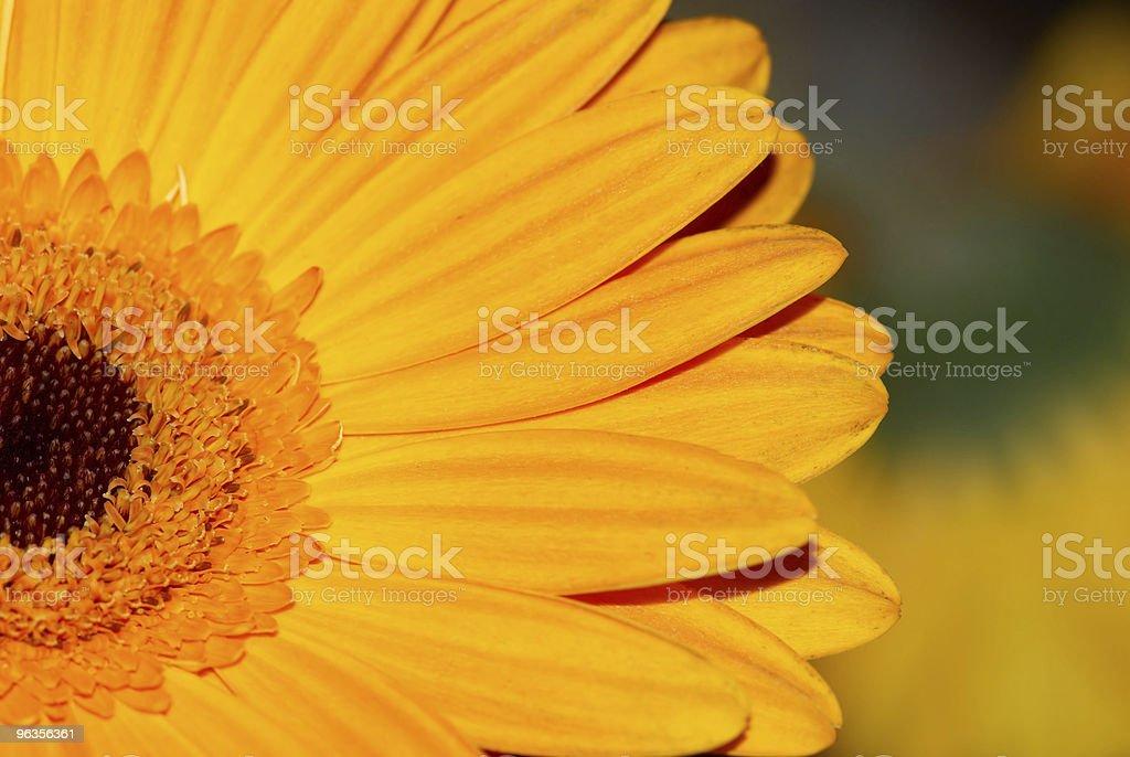 Closeup of Sunflower royalty-free stock photo