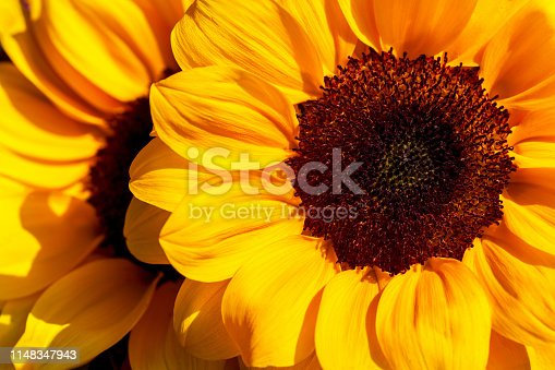 Close-up of sunflowers in the summer time garden. Photography of lively Nature.