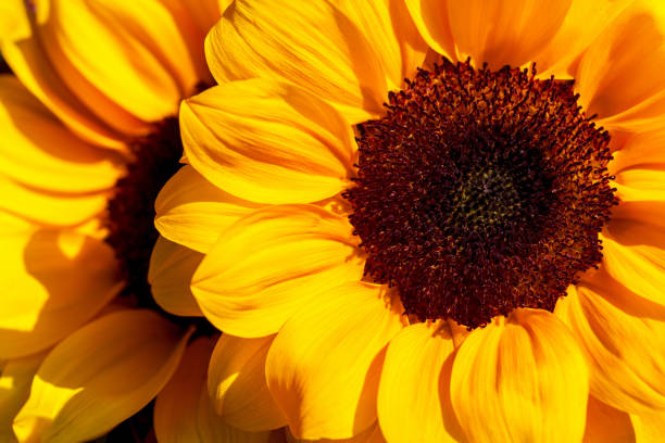 close-up of sunflowers in the summer time garden - sunflower стоковые фото и изображения