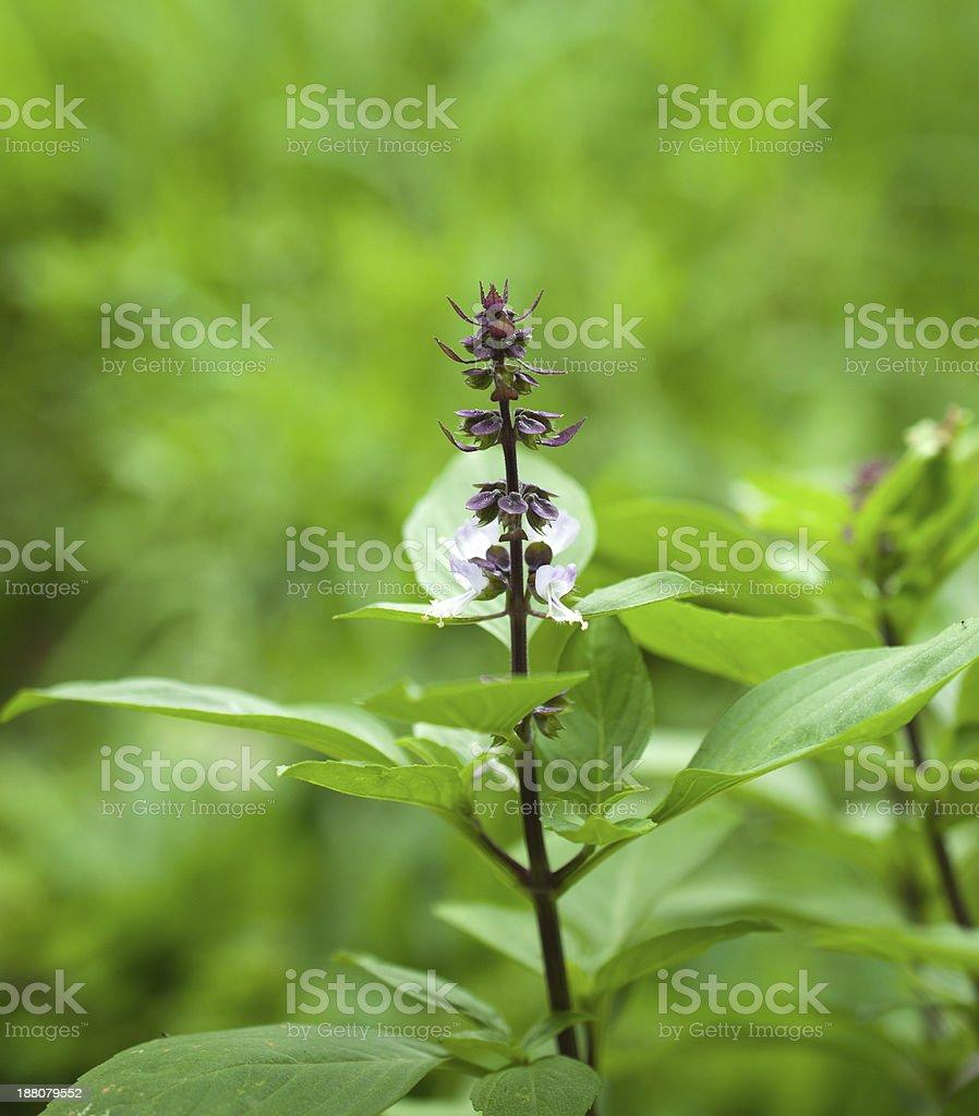 Closeup of Sweet Basil stock photo