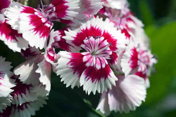 Close-up of Sweet William Flower stock photo