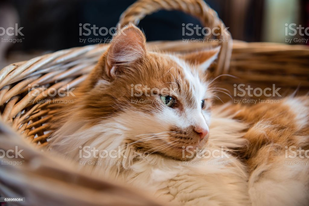 closeup of tabby cat curled up in wicker basket stock photo