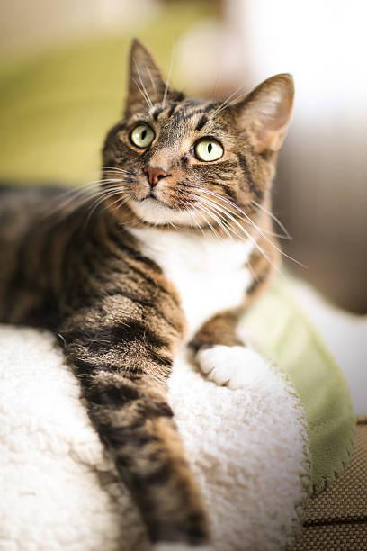 Closeup of tabby cat resting on soft rug picture id179079697?b=1&k=6&m=179079697&s=612x612&w=0&h=s wjqvrmtneblrly44khbmv9ndu6nlmwbobq6w25huk=