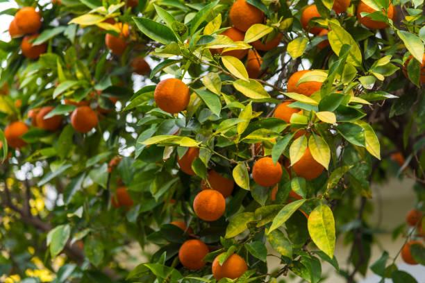 Nahaufnahme von Tangerines – Foto