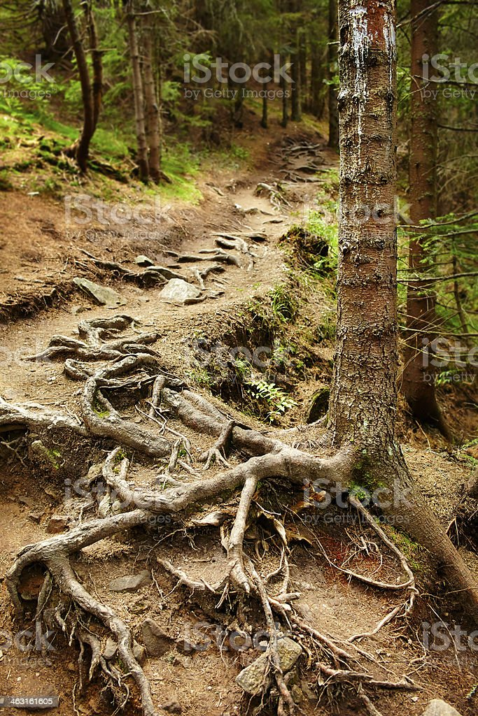 Closeup of tangled pine roots in a sprice fir forest