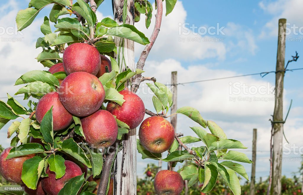 Closeup of tasty apples  ready for harvesting stock photo