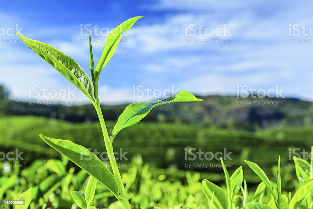 Close-up of tea leaves growing in India, Asia stock photo