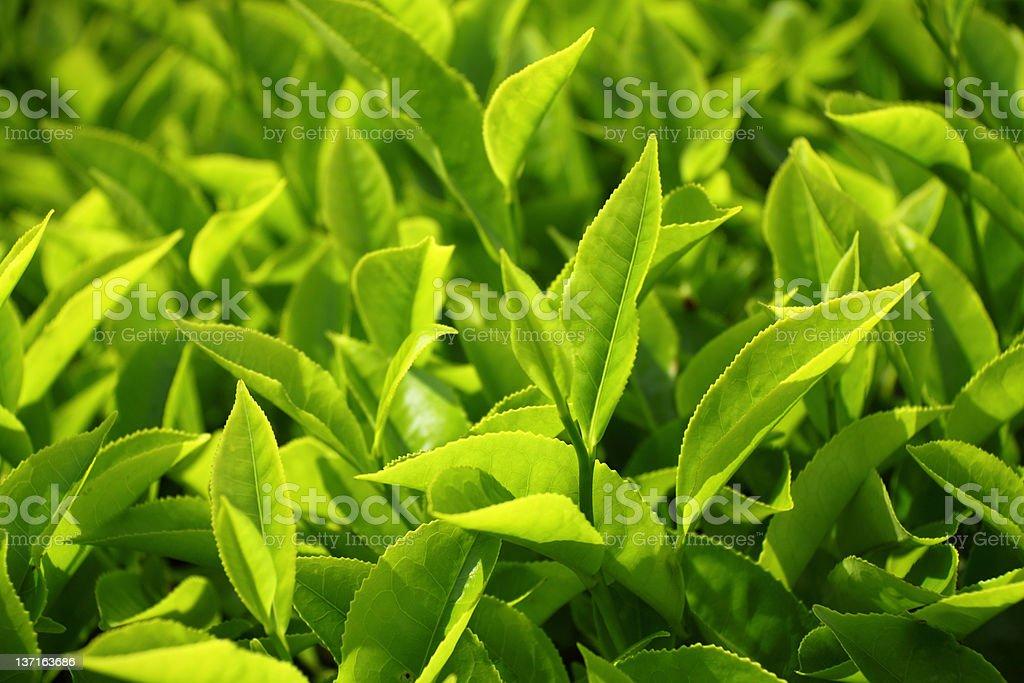 Nahaufnahme von Teeblätter - Lizenzfrei Agrarbetrieb Stock-Foto