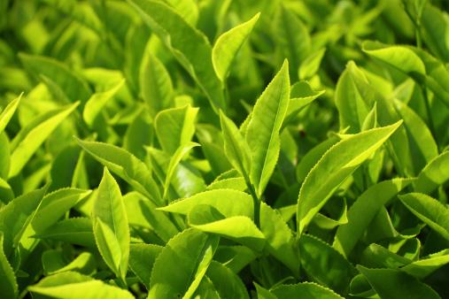 Nahaufnahme Von Teeblätter Stockfoto und mehr Bilder von Agrarbetrieb