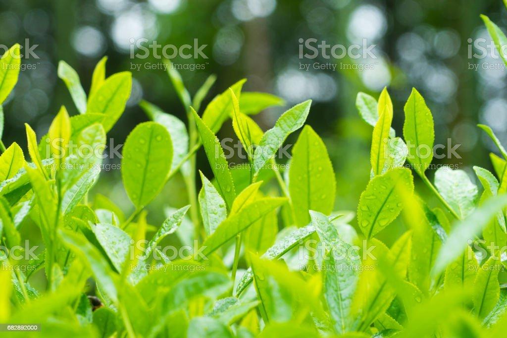 Nahaufnahme von Teeblätter Lizenzfreies stock-foto
