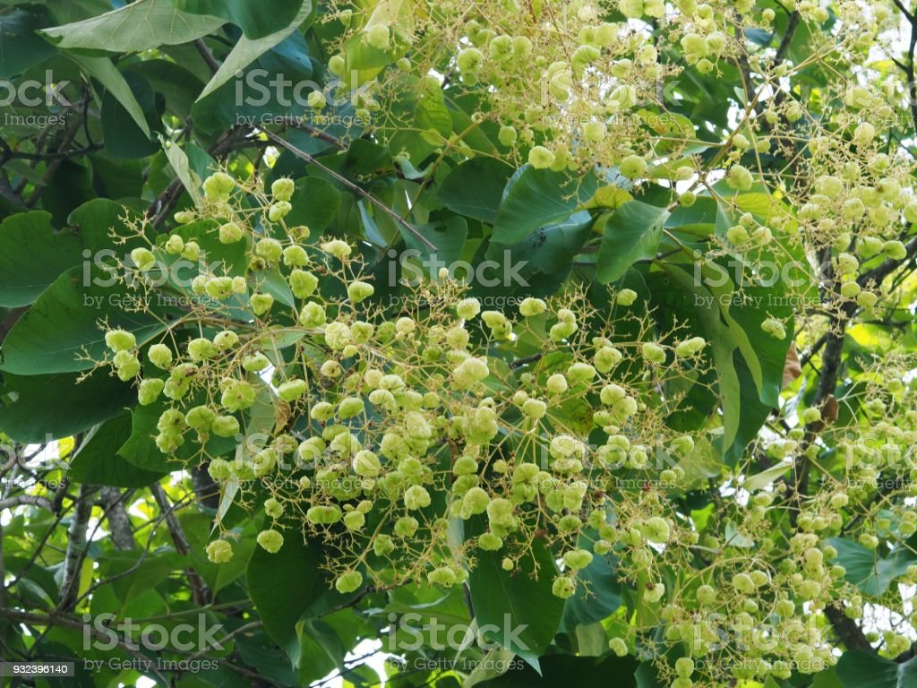 Closeup of Teak (Tectona Grandis) Flowers, Foliage, and Fruits for Background, Backdrop, or Wallpaper. stock photo