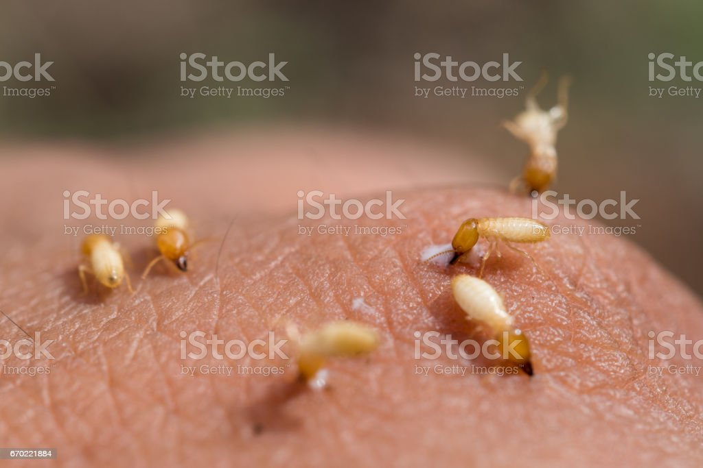 close-up of termites in hand stock photo