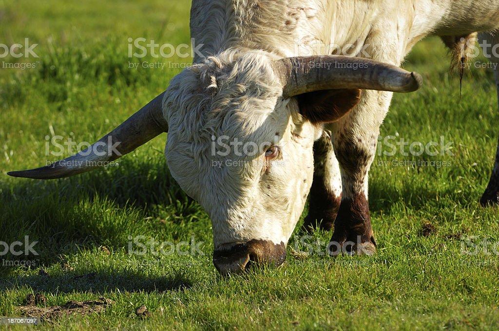 Close-up of Texas Longhorn Bull royalty-free stock photo