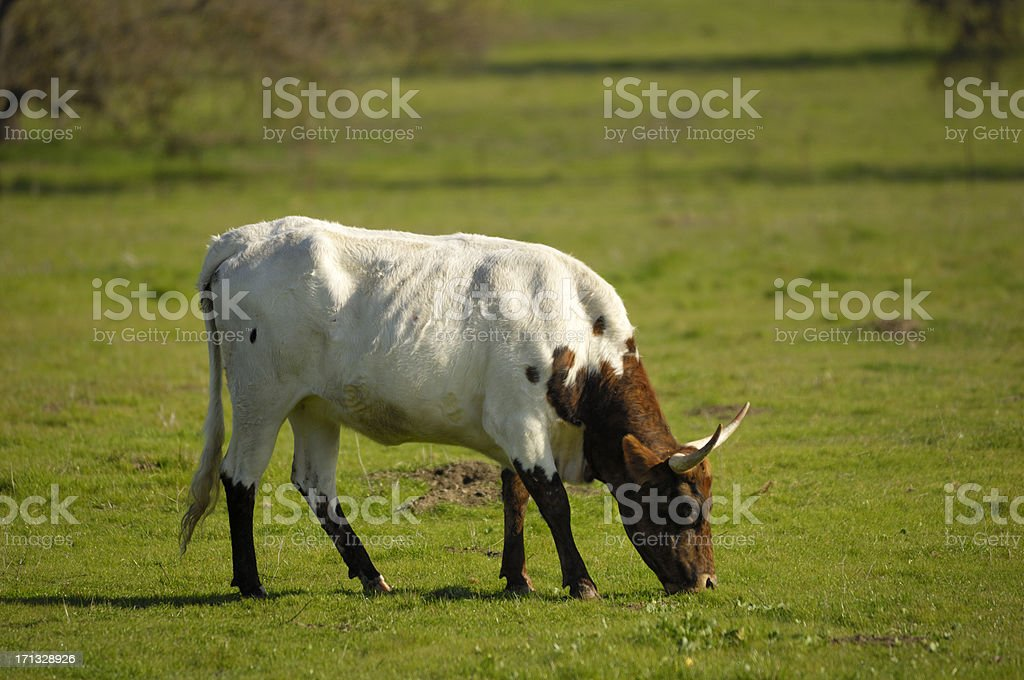 Close-up of Texas Longhorn Cow royalty-free stock photo