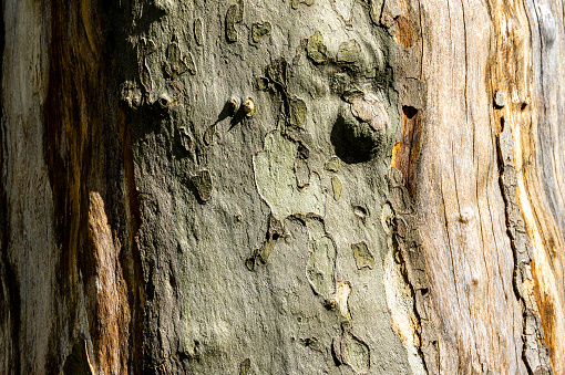 Close-up of texture of bark of American sycamore (Platanus occidentalis, Platanus).