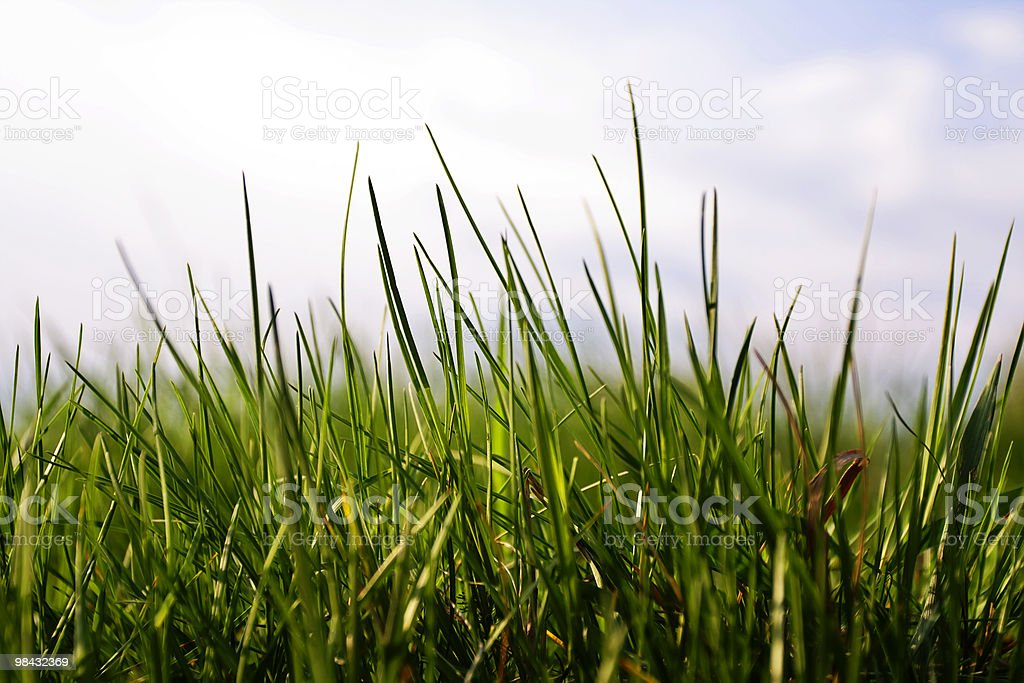 Close-up of the blades of grass royalty-free stock photo