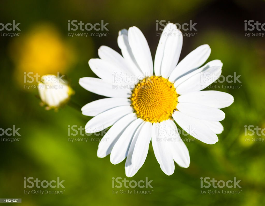 Closeup of the blooming oxeye daisy stock photo